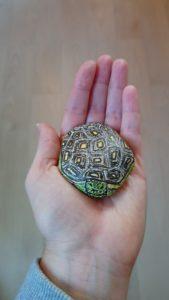 tortue de terre peinte sur un galet
